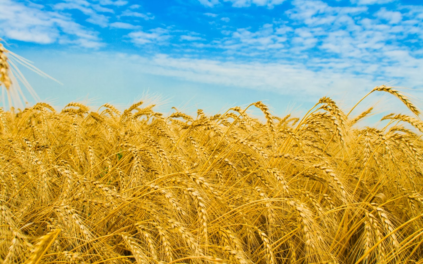 Cute Baby Wallpapers Free Download Desktop Wheat Field Wallpapers Most Beautiful Places In The